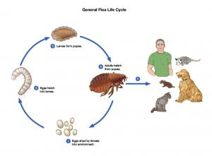 The life cycle of flea